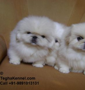 White Pekingese puppies india