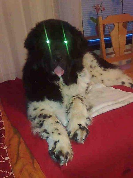 newfoundland dog kennel india