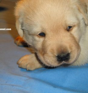 Labrador Retriever Puppies for sale india