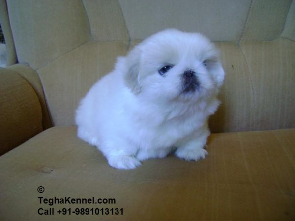 White Pekingese puppies india