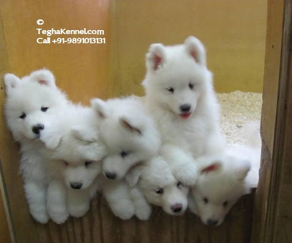 pics for gt white german shepherd puppy images