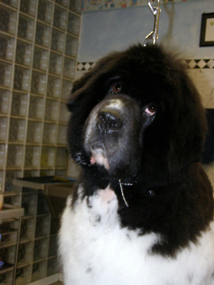Landseer Newfoundland Puppies For