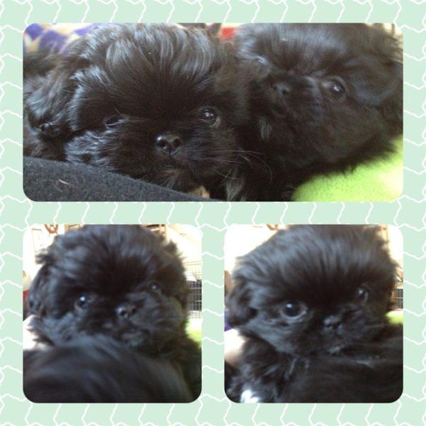 Black Pekingese puppies india