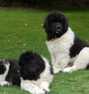 landseer newfoundland dog puppies in india