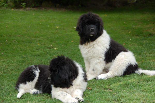 landseer newfoundland dog puppies in india