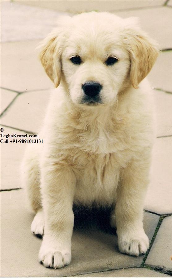 Golden Retriever Puppy For