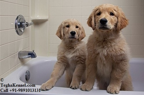 Golden Retriever Puppy For Sale Puppies For Sale Dogs For Sale