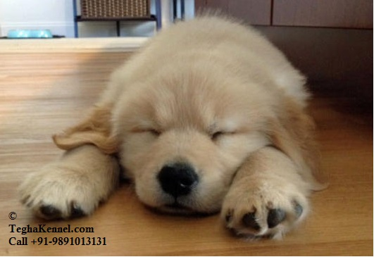 Top Golden Retriever Chubby Adorable Dog - golden-retriever-puppy-cutest  Snapshot_73263  .jpg