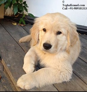 golden retriever india