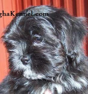 Lhasa Apso Puppies India