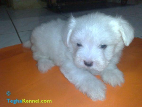 Maltese dog puppies india