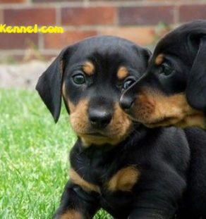 Miniature Dachshund India Puppies For Sale Dogs For Sale Dog
