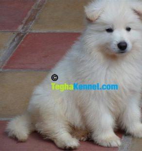 white shiloh shepherd india