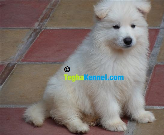 white shiloh shepherd puppy for sale  u2013 puppies for sale  dogs for sale  dog breeders  dog kennel