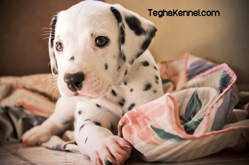 Dalmatian india