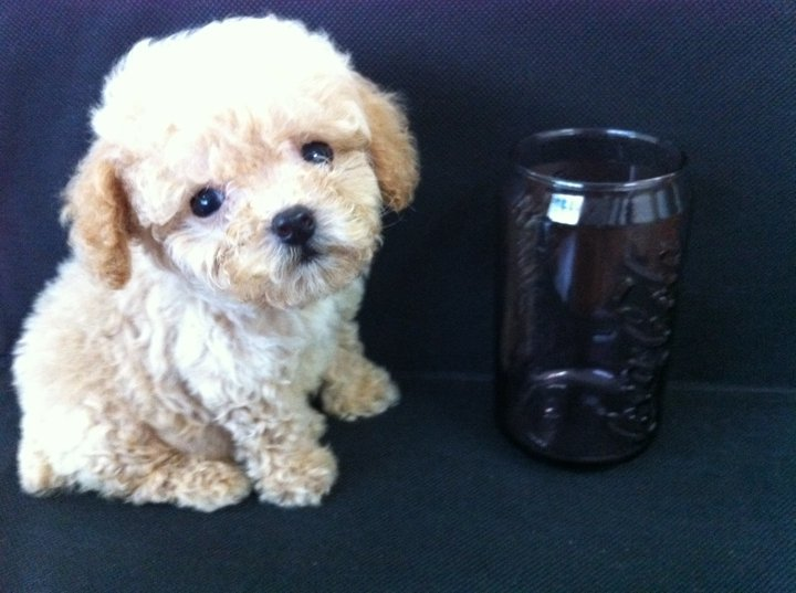 Teacup Toy Poodles for sale