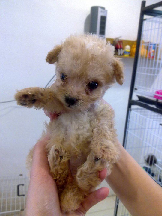 Toy Poodle dog puppies india