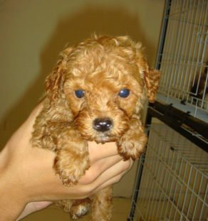 miniature poodle india