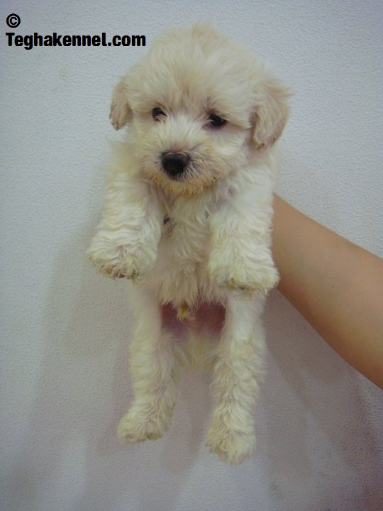 teacup toy poodles for sale  u2013 puppies for sale  dogs for