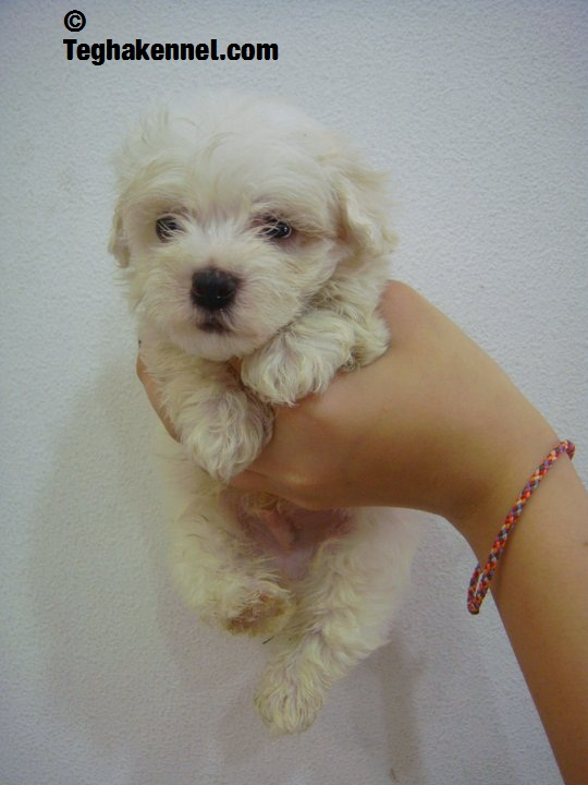 teacup toy poodles for sale india