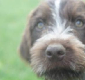 german wirehaired griffon pointer india