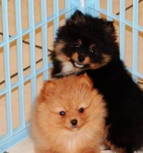 boo Pomeranian puppy india