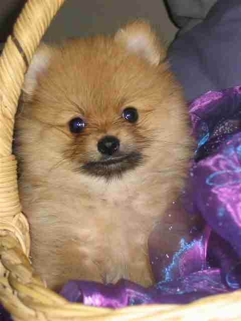 Boo Puppies For Sale Puppies For Sale Dogs For Sale Dog Breeders