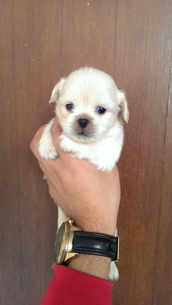 Pekapoo Puppies For Sale Puppies For Sale Dogs For Sale Dog Breeders Dog Kennel Kitten For Sale Cat For Sale