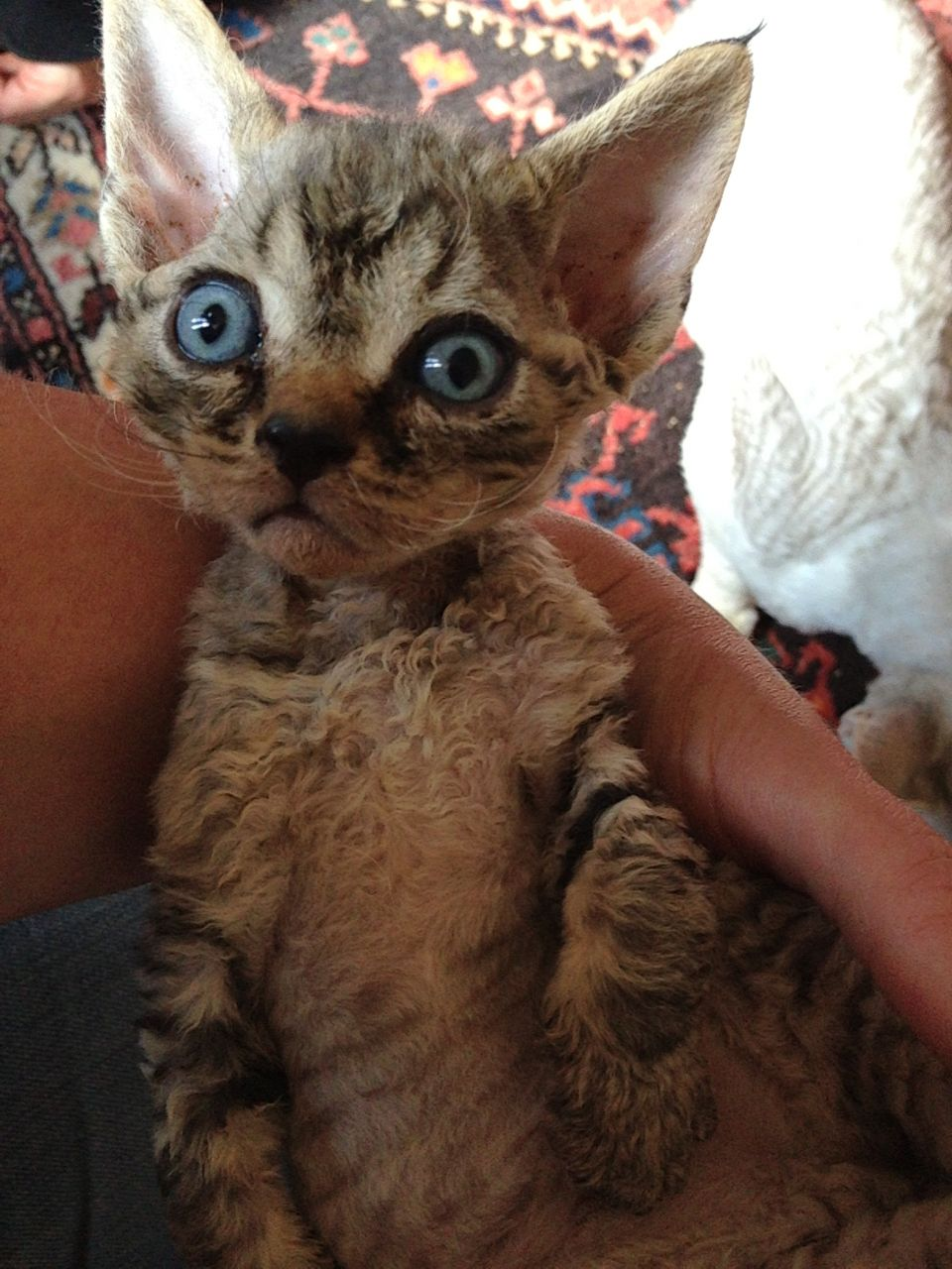 Devon Rex Cats Kitty For Sale Puppies For Sale Dogs For