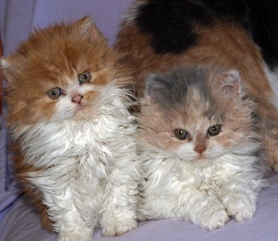 Selkirk Rex Cats Kitten For Sale Puppies For Sale Dogs