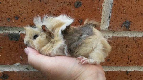 Teddy guinea pig for sale in www.teghakennel.com