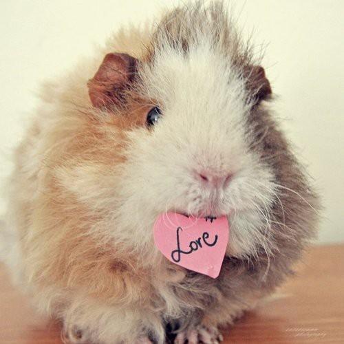 Peruvian guinea pig india