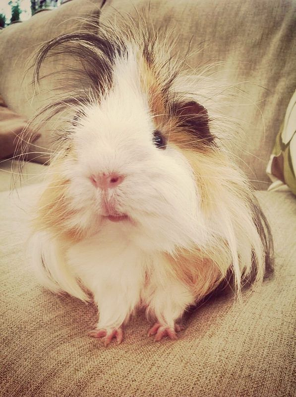Silkie guinea pig for sale india