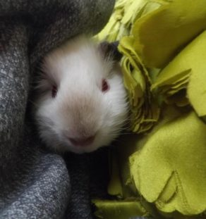 Himalaya guinea pig for sale in www.teghakennel.com