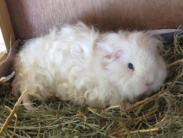 coronet guinea pig for sale in www.teghakennel.com