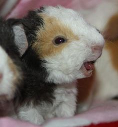 coronet guinea pig for sale in www.teghakennel.com