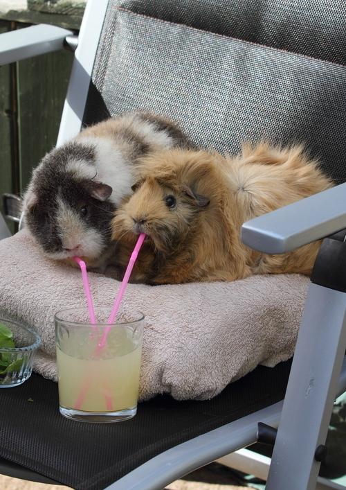 Peruvian guinea pig for sale india breeder