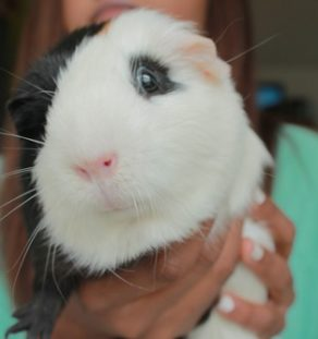 rex guinea pig for sale in www.teghakennel.com