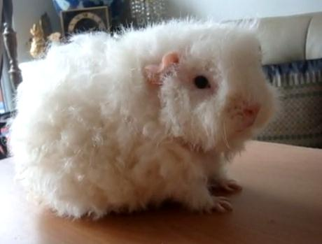 Coronet Guinea Pig For Sale Puppies For Sale Dogs For