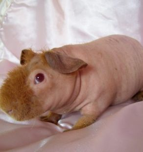 skinny guinea pig for sale in www.teghakennel.com