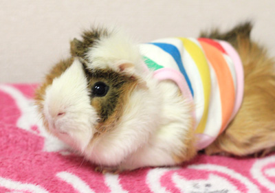 White crested guinea pig for sale in www.teghakennel.com