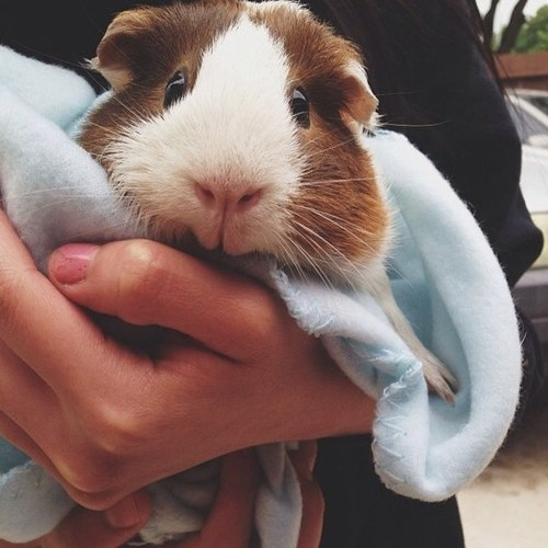 american guinea pig for sale in www.teghakennel.com